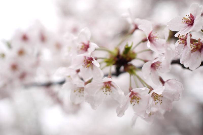 桜 元データ