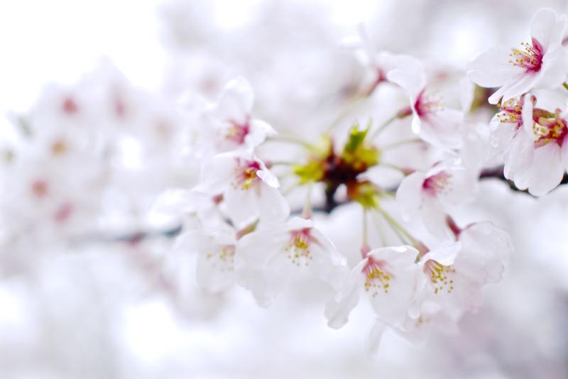 桜 編集後